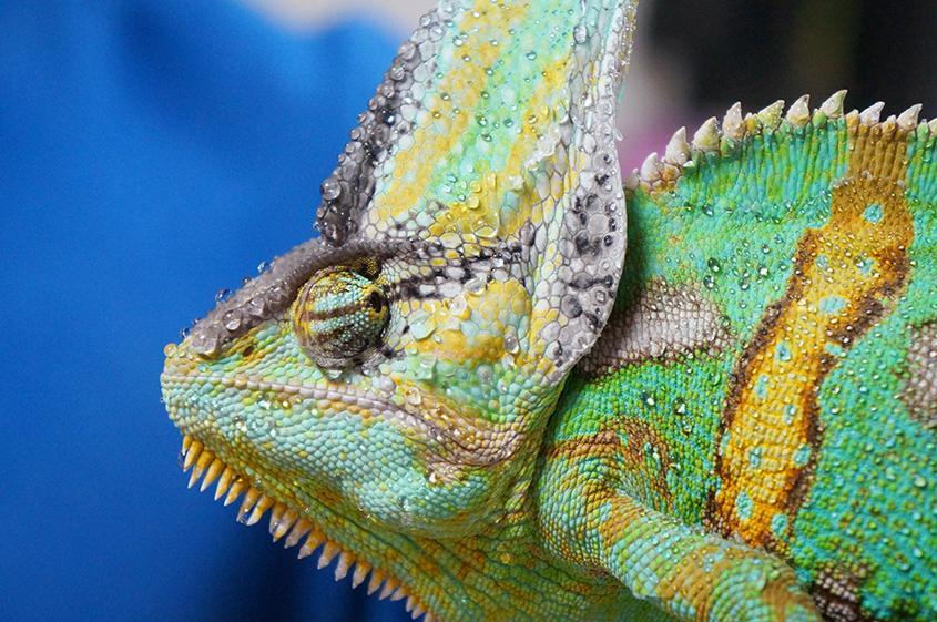 Yemens Chameleon