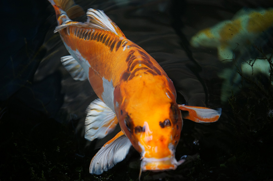 Koi Carp available Spring, Summer & Autumn