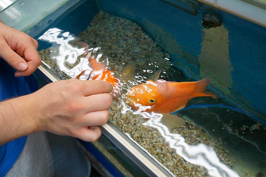 Parrot fish feeding