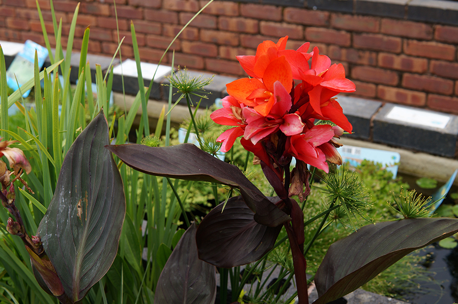 Flowering pond plants to add colour to your pond, available Spring through Autumn
