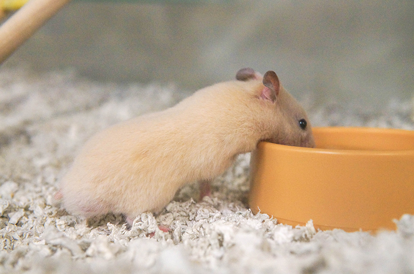 Shortcoat Syrian hamsters for sale