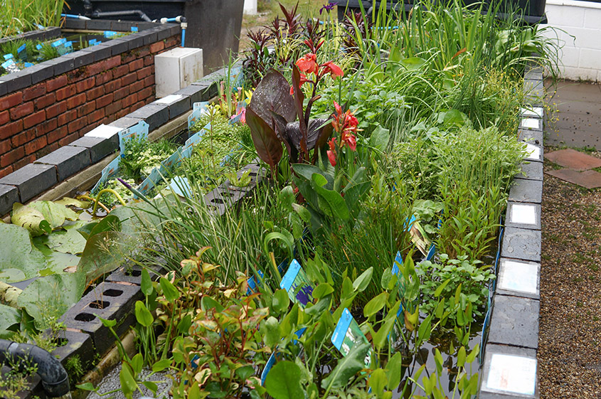 Pond plants available Spring, Summer and early Autumn