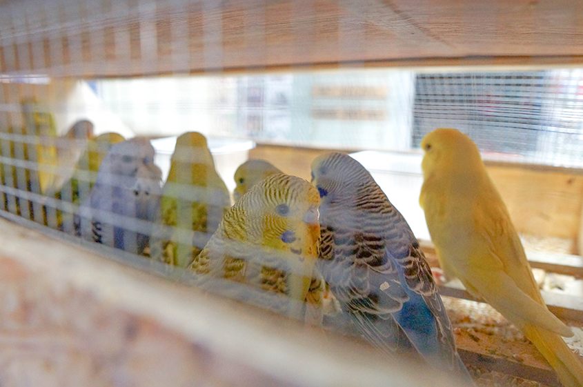 Budgies newly arrived waiting for their new enclosures